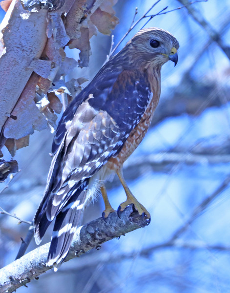 Red-shouldered hawk 82