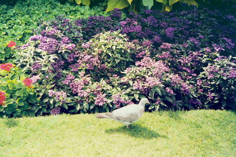 Flowers and Pigeon.jpg
