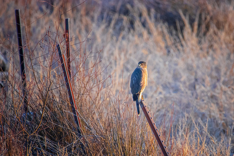 1.3.21 - Blackburn Creek: Coopers Hawk looking for a meal.