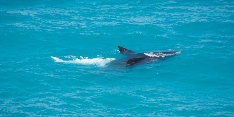 Southern right whales - breastfeeding