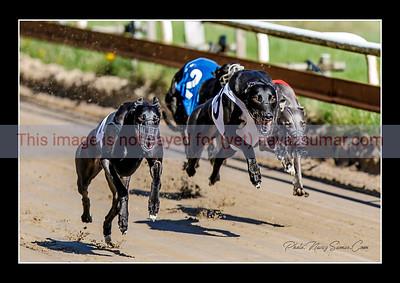 Greyhound and whippet Race Borås