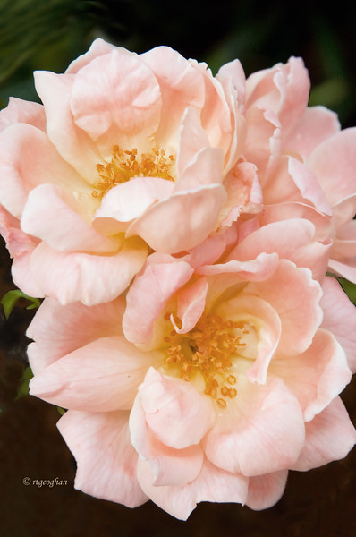 June 24_Rose Cluster_0541.jpg