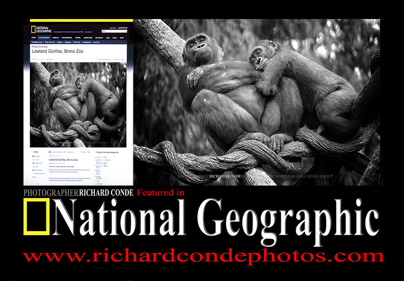National Geographic Featured  Photo / Western Lowland Gorillas / dsc_NGOG1