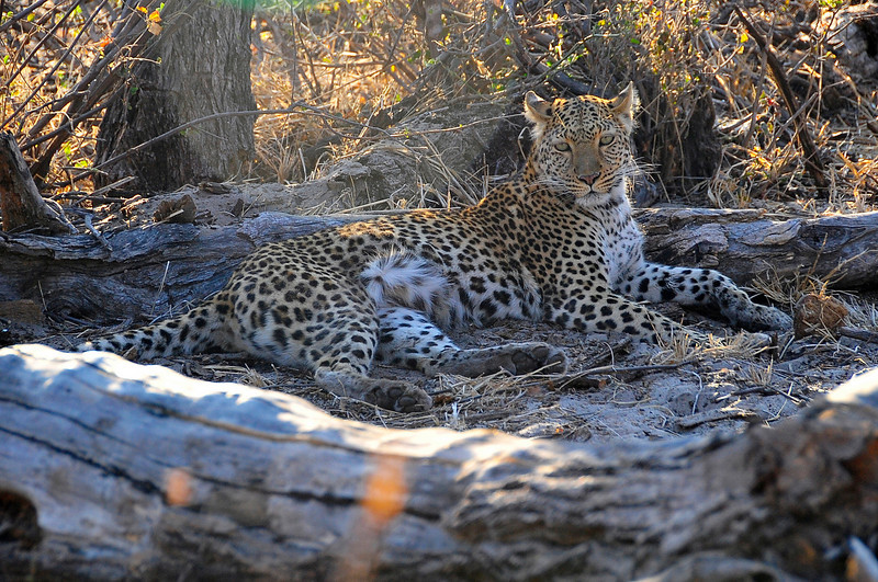 EPV0489 Leopard on Ground.jpg