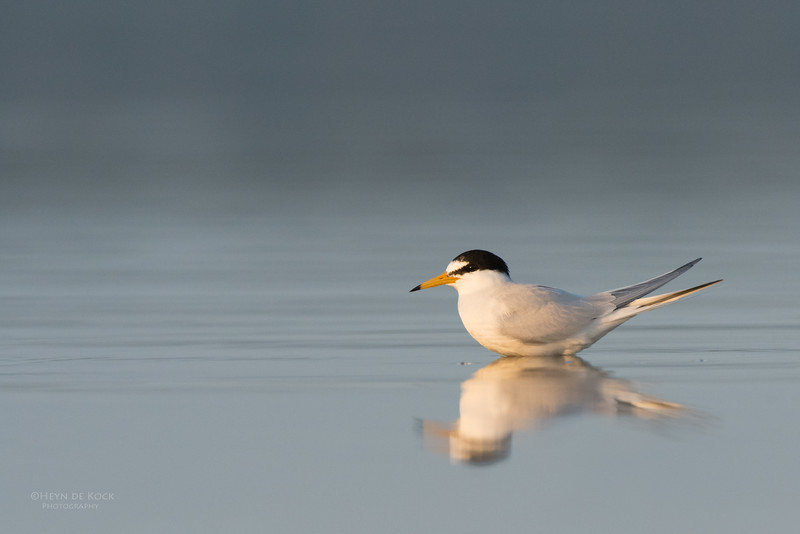 Little Tern, Lake Wollumboola, NSW, Nov 2014-2.jpg