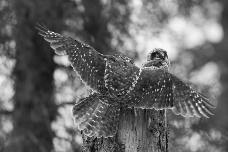hawk owl landing 2.jpg