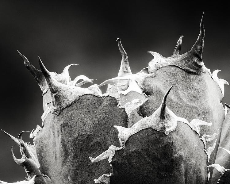 agave 'felipe otero'