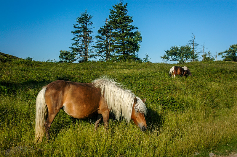 Wild Ponies in High Mountain Meadow  #1.