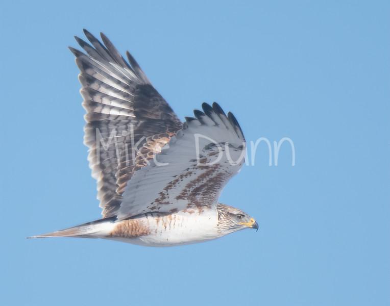 Ferruginous Hawk-132