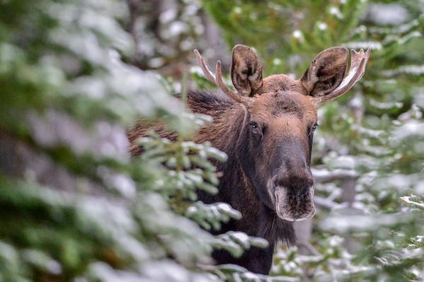 10 2013 Oct 8 Bull Moose 3&4 Plus 3 Cows*^