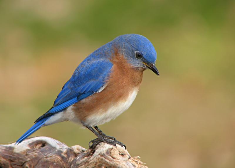 bluebird_1433.jpg