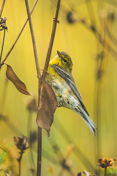 A Pine Warbler at the Celery Bog
