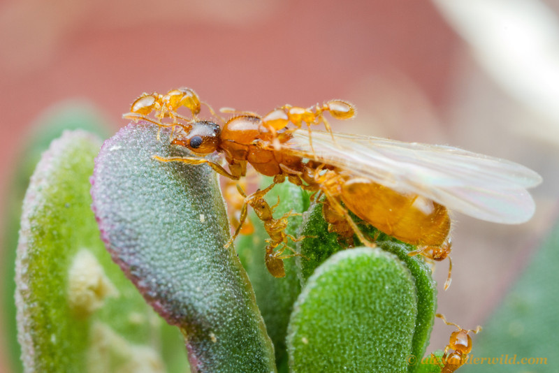 A young queen thief ant, Solenopsis molesta, scales a leaf prior to taking off on an evening mating flight. She has a few sister workers in tow.  Urbana, Illinois, USA