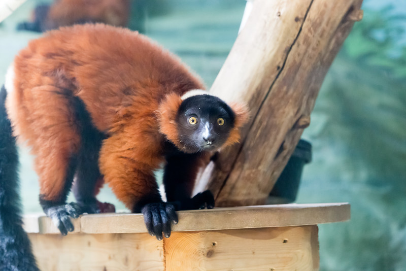 Red_Ruffled_Lemur.jpg