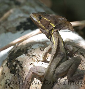 Brown-basilisk Lizard