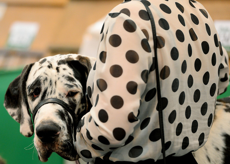 """. A dog owner carries her dog  during the first day of Crufts on March 6, 2014 in Birmingham central England. The annual event sees dog breeders from around the world compete in a number of competitions with one dog going on to win the \""""Best in Show\"""" category. (ANDREW YATES/AFP/Getty Images)"""