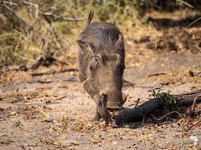 Warthog on the Chobe Banks