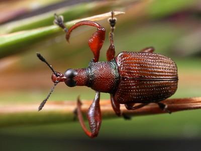 Attelabidae