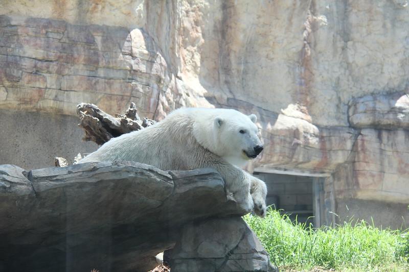 20170807-115 - San Diego Zoo - Polar Bear.JPG