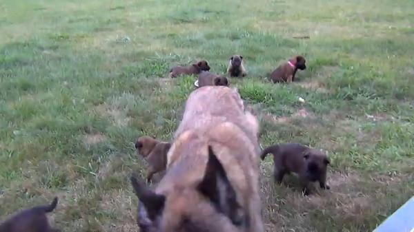 Blaze puppies 27 days old