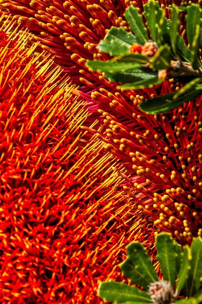 Banksia praemorsa 3, U. C. Santa Cruz Arboretum, California, 2010