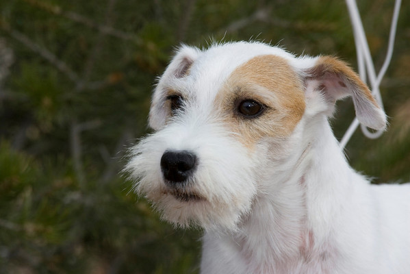 Parson Russell Terrier SW