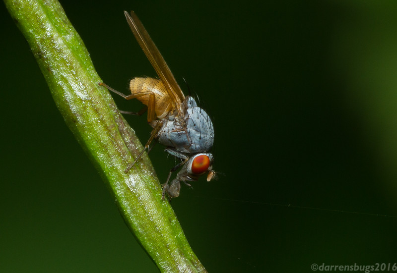 """A Lauxaniid fly, Minettia lupulina, from Iowa, USA. Many flies like this one possess what are referred to as """"sponging"""" mouthparts - an elbowed labium with sponge-like organs known as labella on the end that are used to sop up nutritious liquids like that soda you spilled on the picnic table that's totally still good."""