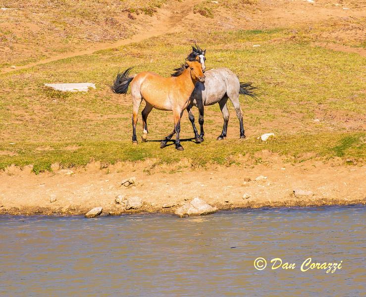 Dueling Mustangs 5-1aa.jpg