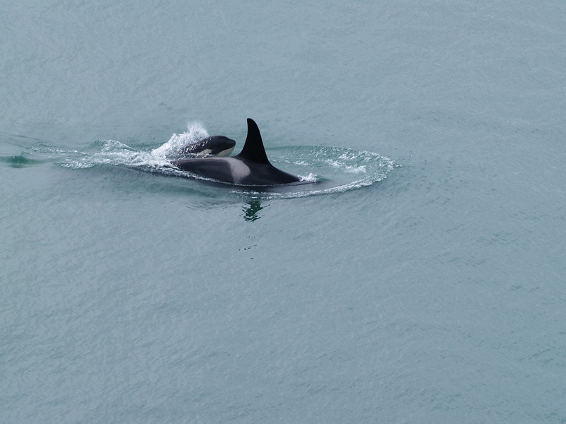 Female orca with a baby