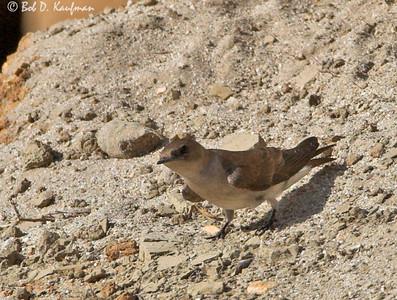 Stelgidopteryx serripennis - Northern Rough-winged Swallow
