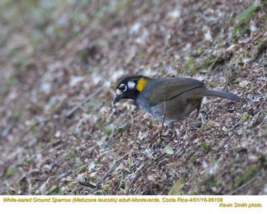 White-eared Ground-Sparrow A86108.jpg
