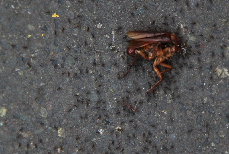 Mrówki sobie radzą z karaluchem