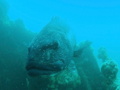 Stereolepis gigas, giant sea bass
