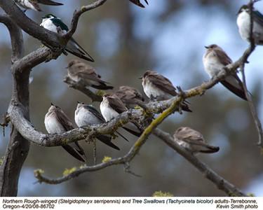 NorthernRoughWinged&TreeSwallowsA86702.jpg