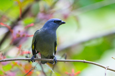 Golden-winged Tanager