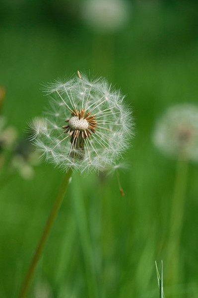 Dandelion with seeds