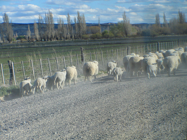 """Sheep""   Wool is a big industry in Argentina.  #3277."