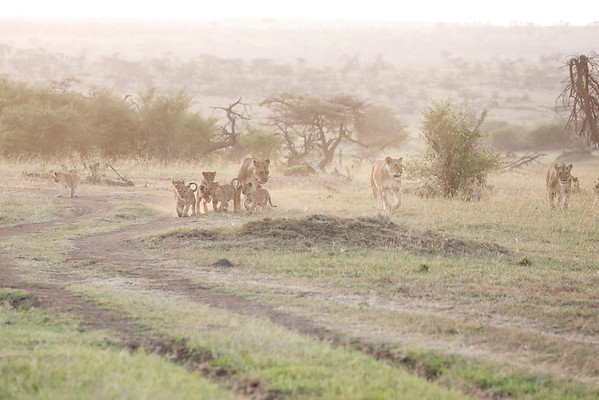 Lion Families Mara North Kenya 2015