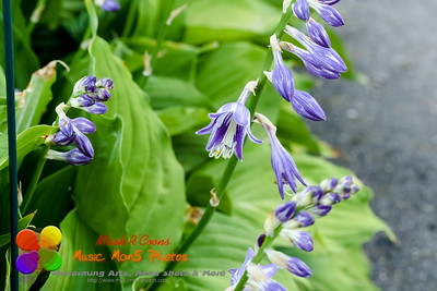 a wide angle view of a lavender Hosta plant that is blooming