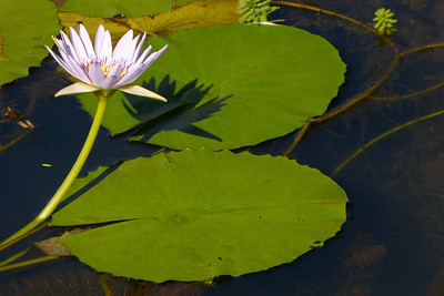 Water Lily December 2012, Cynthia Meyer, Hawaii