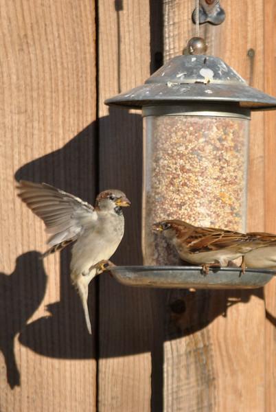 Birds flock to a feeder-110115