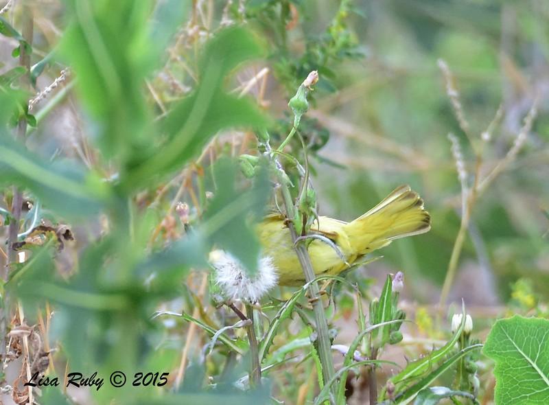 Underside of a Yellow Warbler - 5/25/2015 - Mast Park, Santee