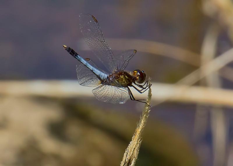 Plateau Dragonlet, Erythrodiplax basifusca, male, Spur Cross Recreation Area, Maricopa County