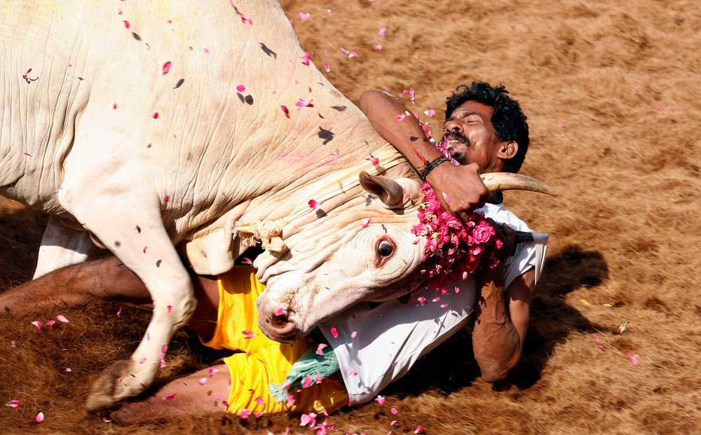 Description of . A bull tamers holds a bull by the horn during the bull-taming sport called Jallikattu, in Alanganallur, about 530 kilometers (331 miles) south of Chennai, India, Wednesday, Jan. 16, 2013. Jallikattu is an ancient heroic sporting event of the Tamils played during the harvest festival of Pongal. (AP Photo/Arun Sankar K.)