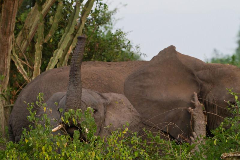 Elephants / Elefanten (Queen Elizabeth NP)