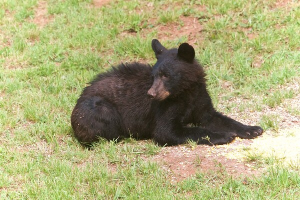 Blairsville Bears: Scruffy