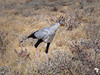 Secretary Bird in Etosha