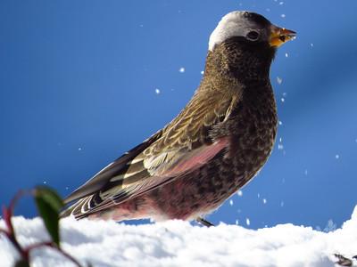 Black Rosy Finch