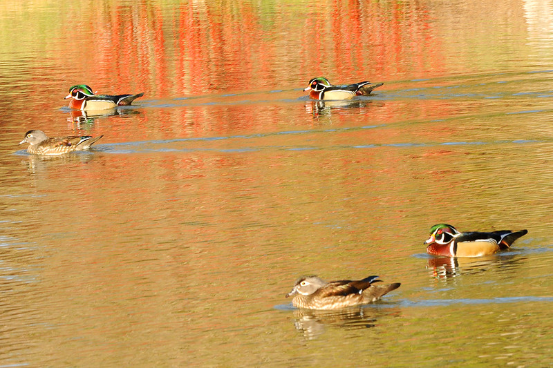 wood ducks red reflection mar 2011.jpg