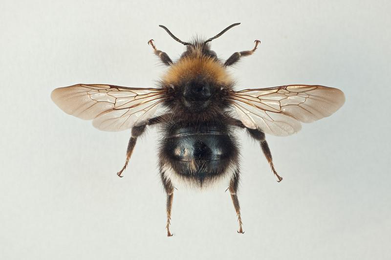 Bombus sylvestris -dronning